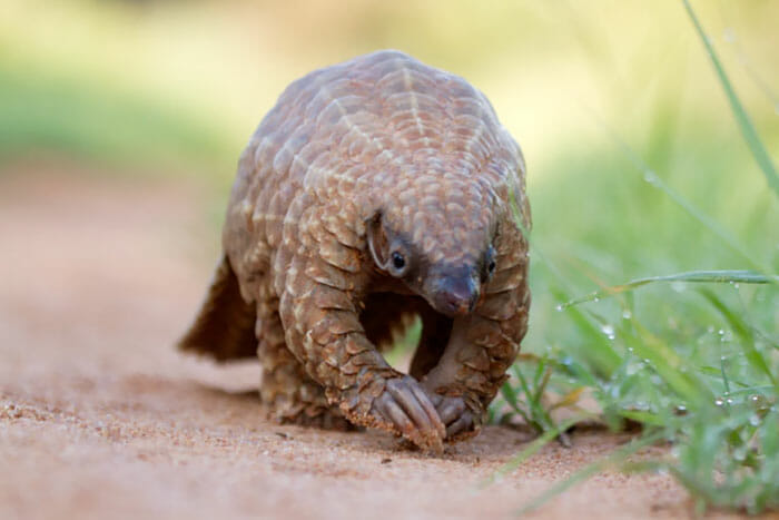 Is Coronavirus the revenge of the humble Pangolin?