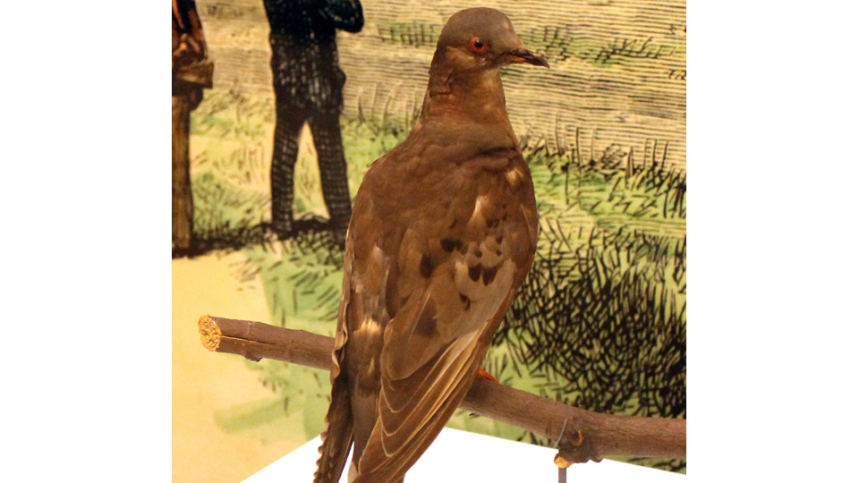 ON THIS DAY: 1 SEPTEMBER 1914: Death of Martha, the last passenger pigeon