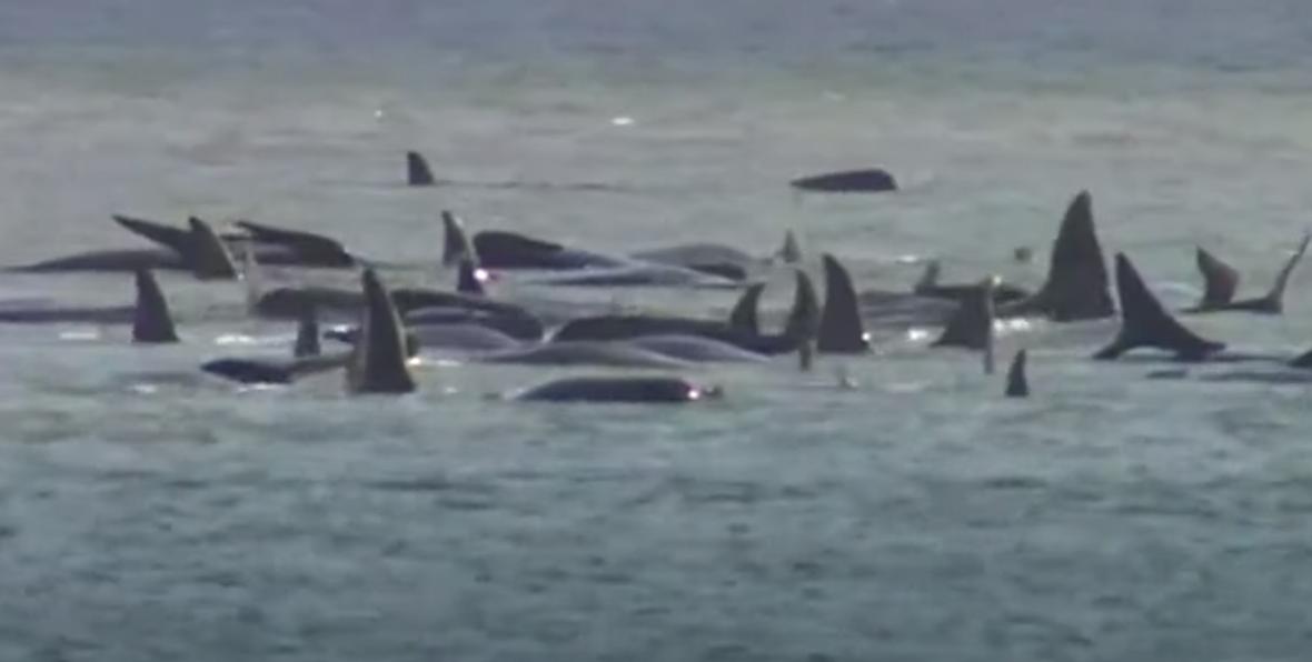 380 pilot whales die in Australia's worst stranding